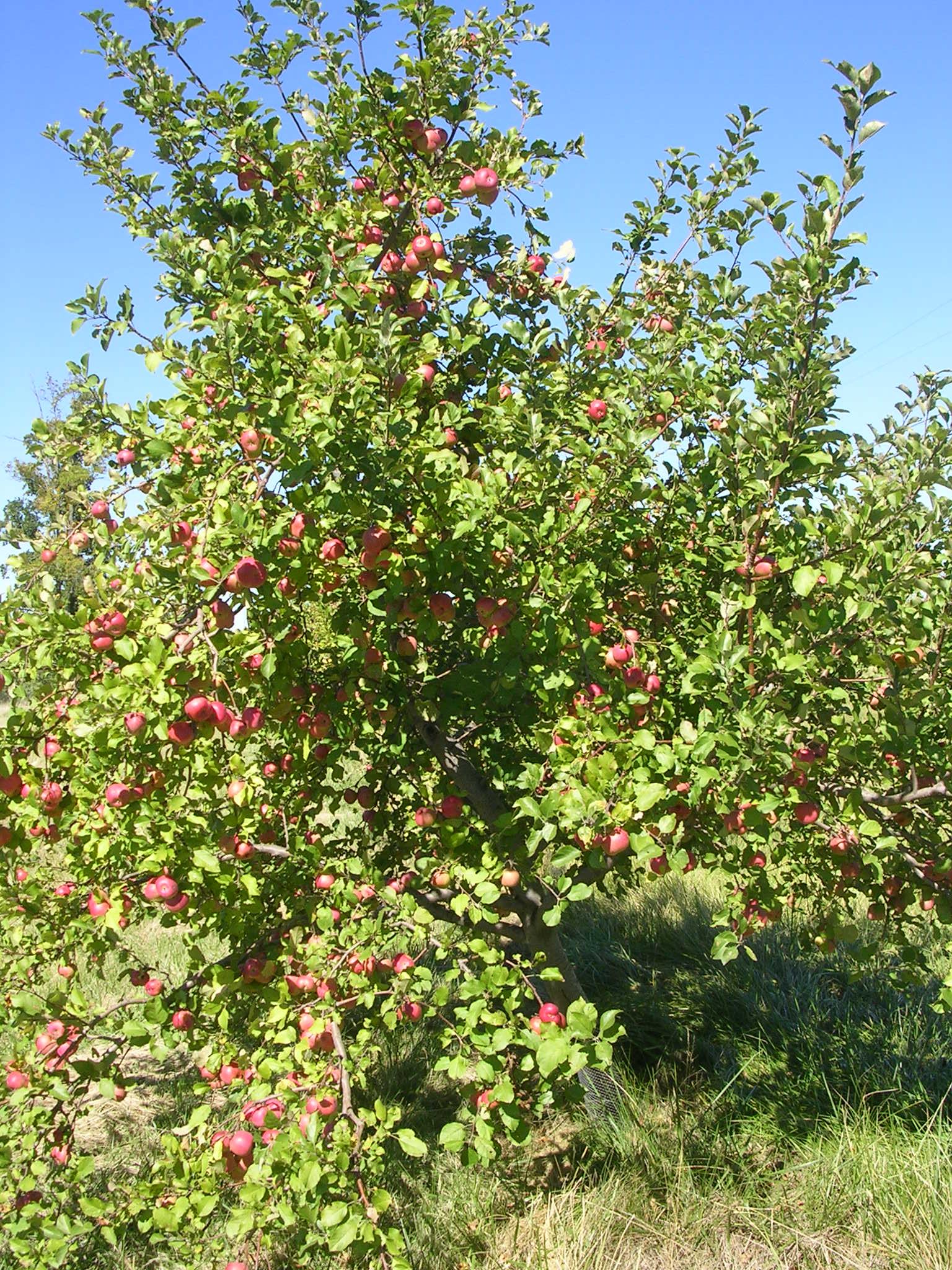 Charming Caring Apples Honeycrisp Apple Tree Pests Honeycrisp Apple Tree Spacing Apple Tree Apples On It How To Grow Apples houzz-03 Honeycrisp Apple Tree