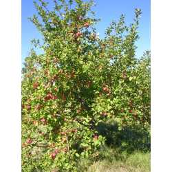Small Crop Of Honeycrisp Apple Tree