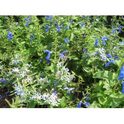 Small Crop Of May Night Salvias