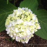 Maintaining Mopheads - Tips on Growing Hydrangeas