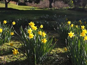 Pretty spring daffodils at Mt Tomah