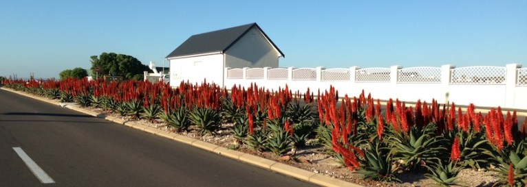 Aloes flowering along the road, South Africa