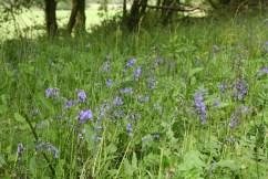 Field of bluebells, Scotland