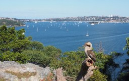 Kookaburra surveys one of the many fine Sydney Harbour views