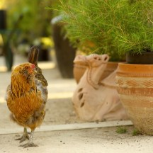 Chickens at Australian Native Plants, Ojai