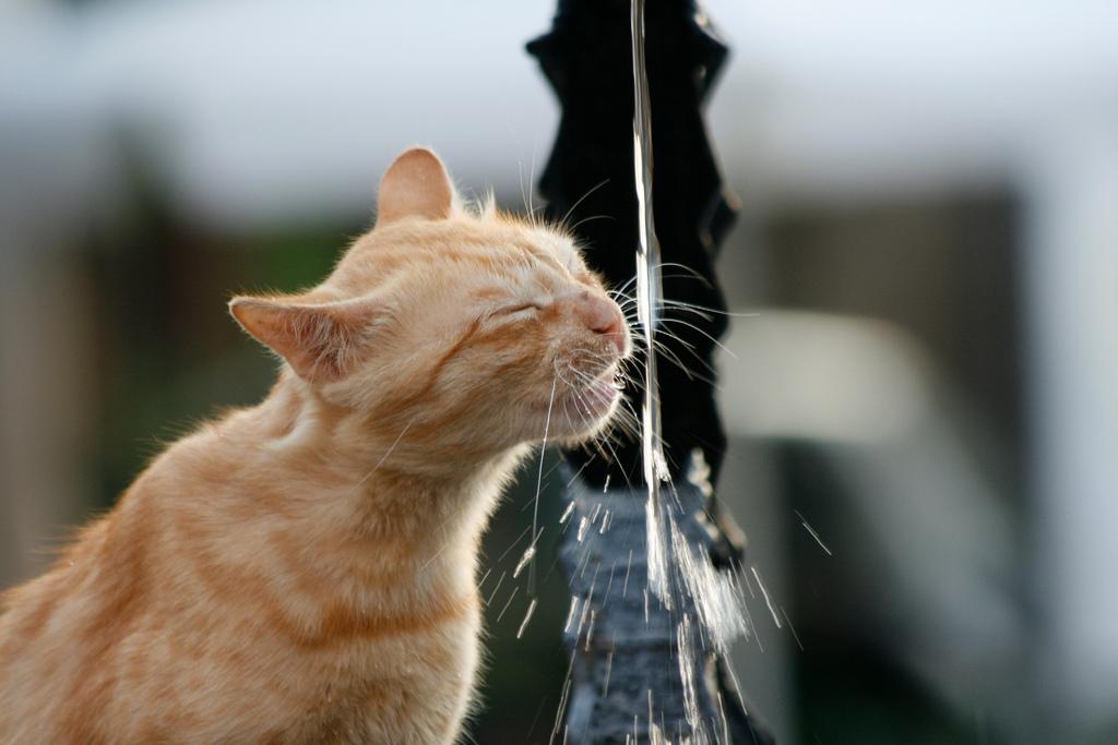 10 dicas fáceis para incentivar seu gato a beber mais água