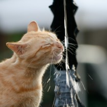 gato beber agua