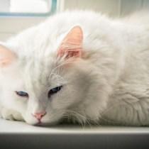 Gatos brancos de pelos longos têm uma chance ainda maior de terem surdez congênita (desde o nascimento).