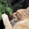 catnip erva dos gatos
