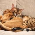 apresentar fazer pazes gatos