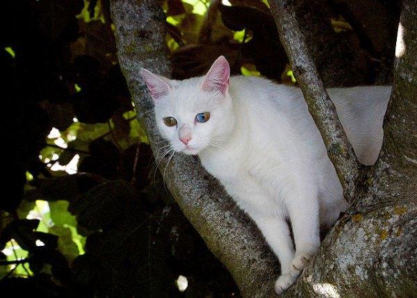 gatos-olhos-impares-heterocromia21