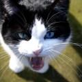 por que gatos miam miar miado