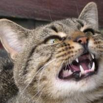 entender-gato-falando-meu-gato-endiabrado