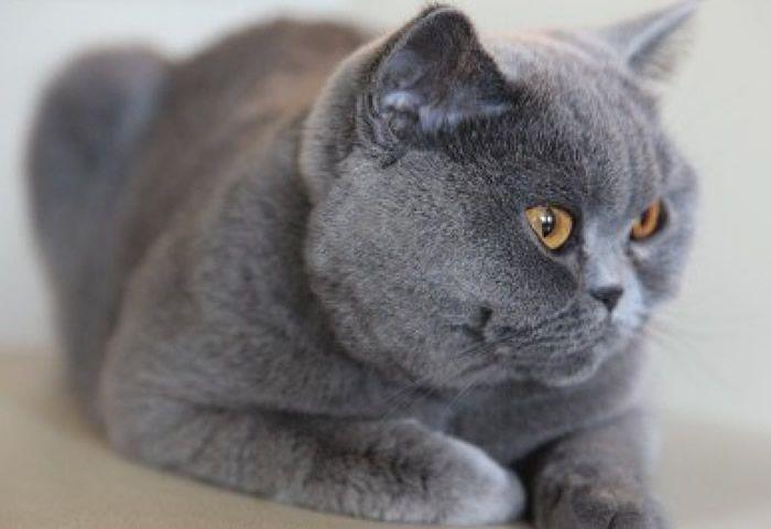 El gato korat sus cuidados gatos - Cuidados gato 1 mes ...