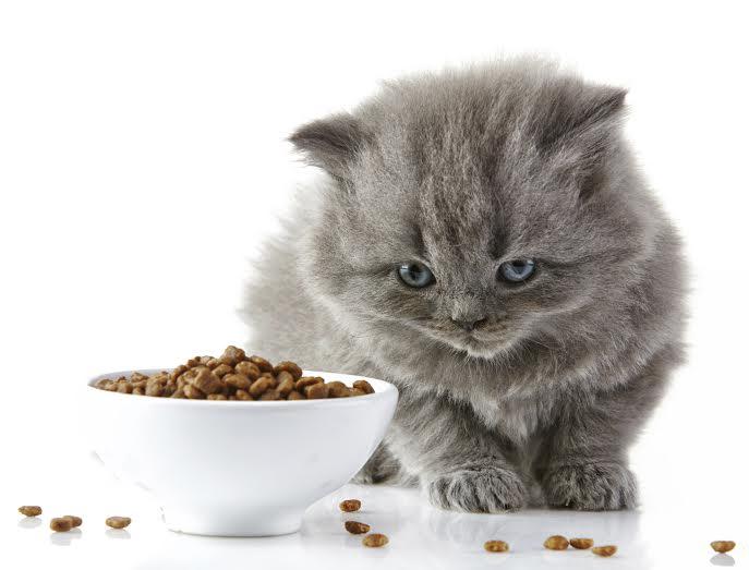 Razones por las que Tu Gato no Come