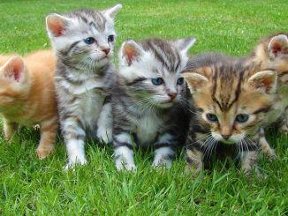 Cosas que Debes Hacer si Adoptas un Gato