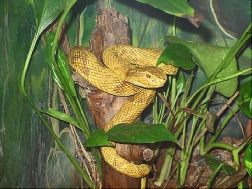The Golden Launchhead Snake