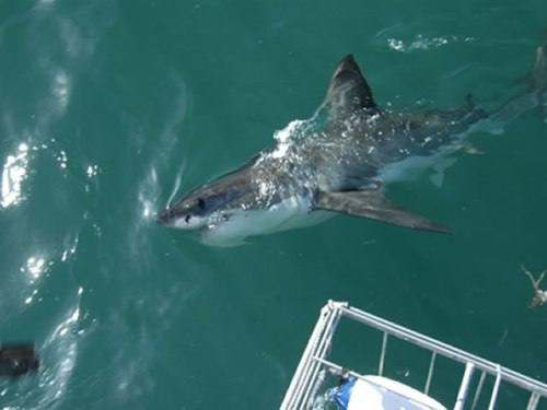 Best Underwater Experiences: A Great White Shark In Southern Cape
