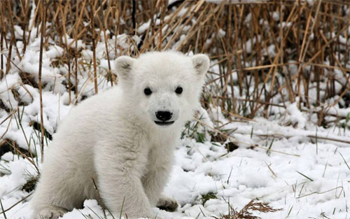 Polar Bear Cub, Alaska