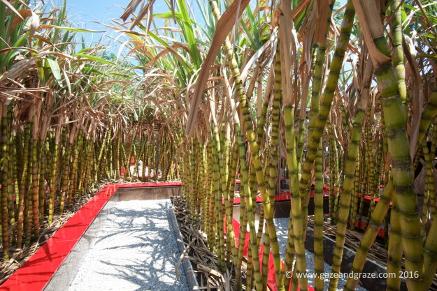 Designer garden - unique maze with sugarcane