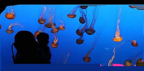 jellyfish-monteray2.png