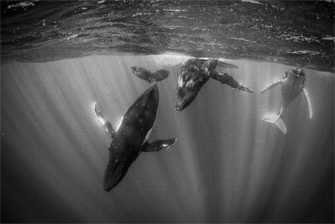 humpback-whales-tahiti-ga