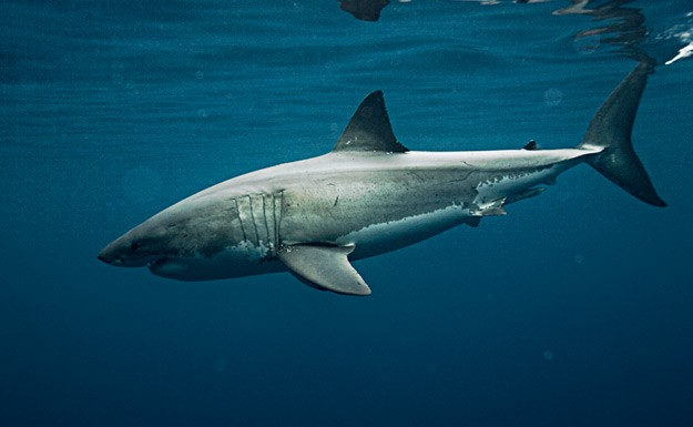 male great white shark ocearch