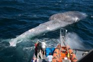 Blue Whales Under Increased Threat of Ship Strikes Off California, Study Finds