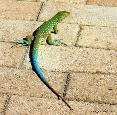 20-geardiary-aruban-iguanas-019