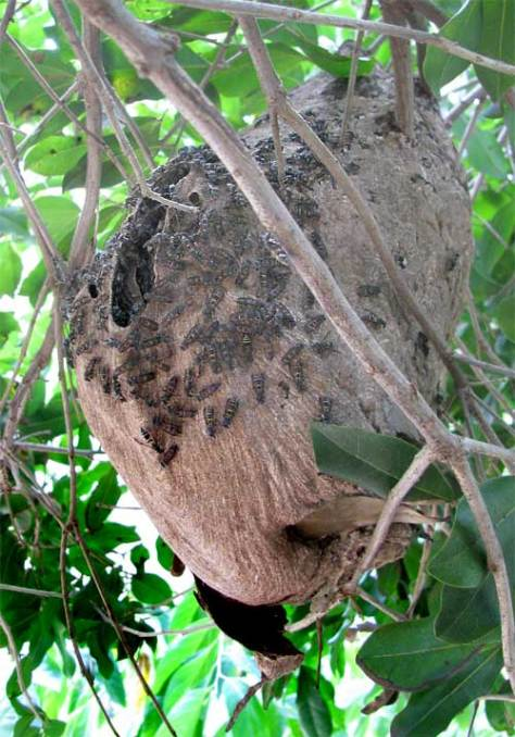 Paper Wasp Nest In Yucatan, Mexico