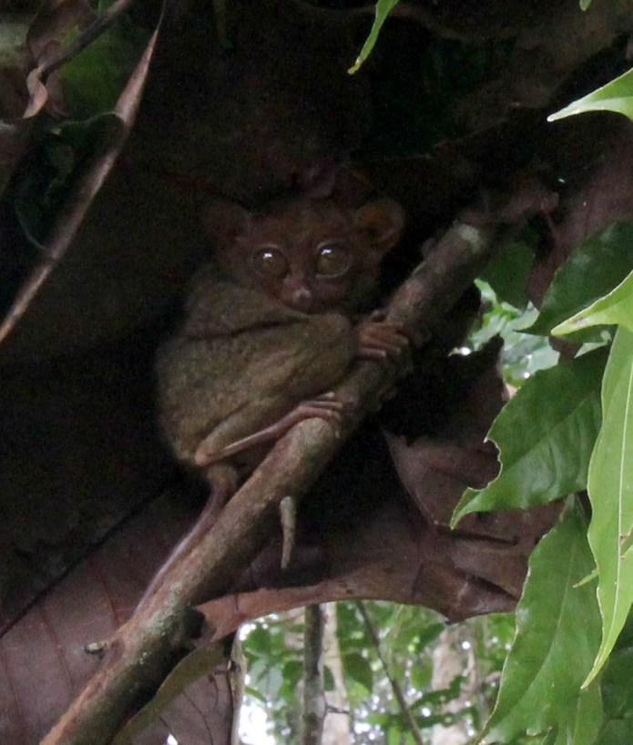 tarsier 4