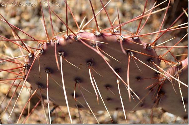 01a Purplish cactus Weaver Mts Yarnell AZ