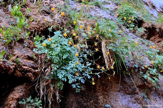 13 DSC_1975 Columbines Zion Canyon River walk trail Zion NP UT g (1024x678)