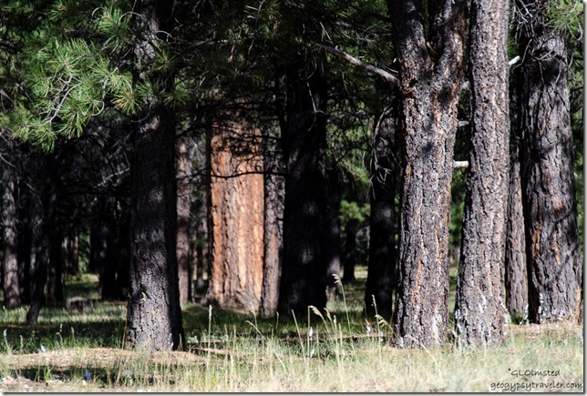 Light on grass & trees Mile & a Half Lake camp SR212 Kaibab National Forest Arizona