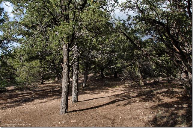 Pinyon pine & juniper Crazy Jug Point Kaibab National Forest Arizona