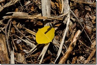 One yellow aspen leaf FR219 Kaibab Kaibab National Forest Arizona