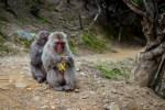 Macaques on Irashiyama (Monkey Mountain)