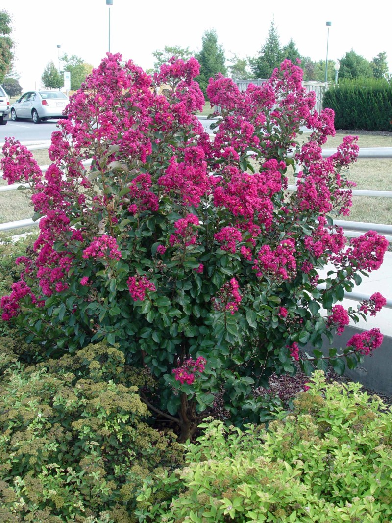 Large Of Sonic Bloom Weigela