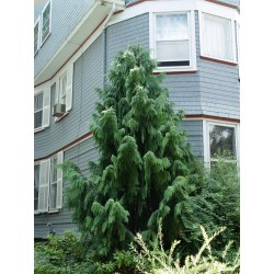 Small Crop Of Weeping Alaskan Cedar