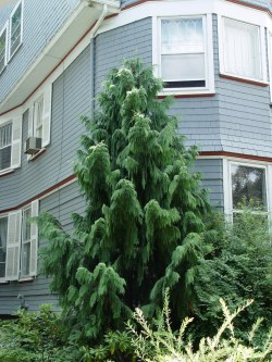 Small Of Weeping Alaskan Cedar
