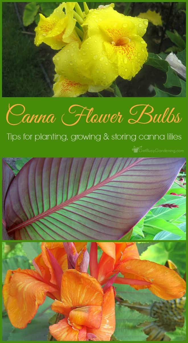 Graceful Sale Ontario Canna Lily Bulbs Images Storing Canna Lilies Canna Lily Bulbs Canna Flower Tips Growing Canna Lilies Are Easy To Grow Flowers That Look houzz-03 Canna Lily Bulbs
