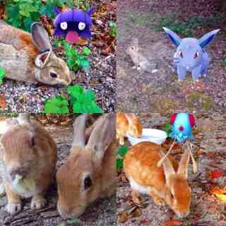 #RabbitIslandPokemon