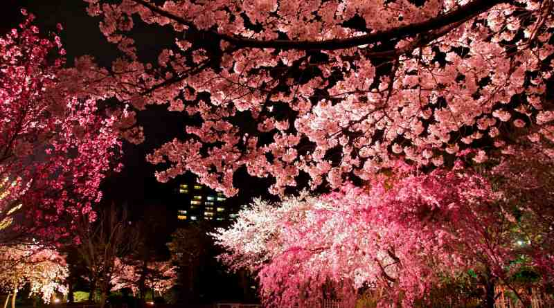 Illuminated yozakura cherry blossom at Shukkei-en Garden in Hiroshima