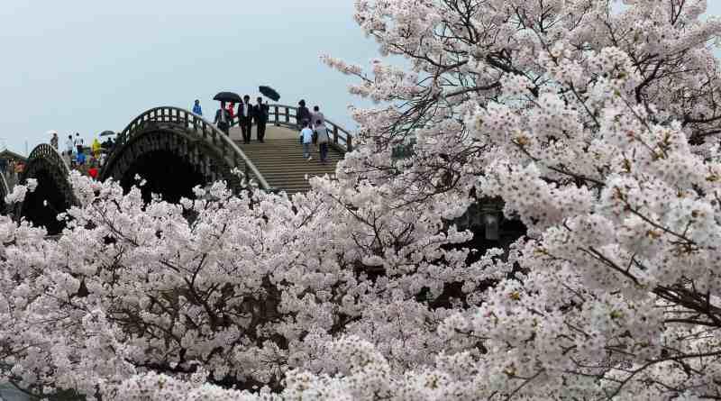 Kintai Bridge Sakura Rain 1