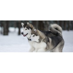 Small Crop Of Malamute Husky Mix