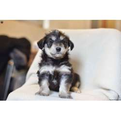 Small Crop Of Husky Poodle Mix