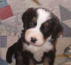 Fabulous New York 3 What Kind Sale Dog Was Benji What Kind Dog Was Original Benji Benji Benji Bernese Mountain Dog Puppy