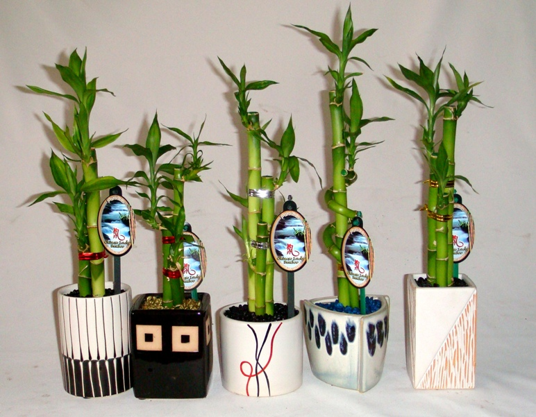 Выращивания бамбука 69