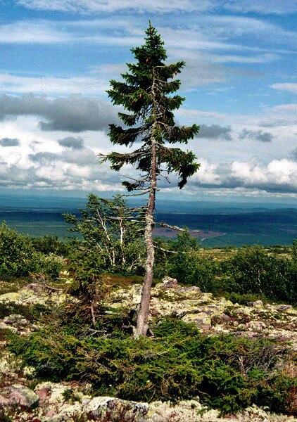 Продолжительность жизни деревьев . Интересное.