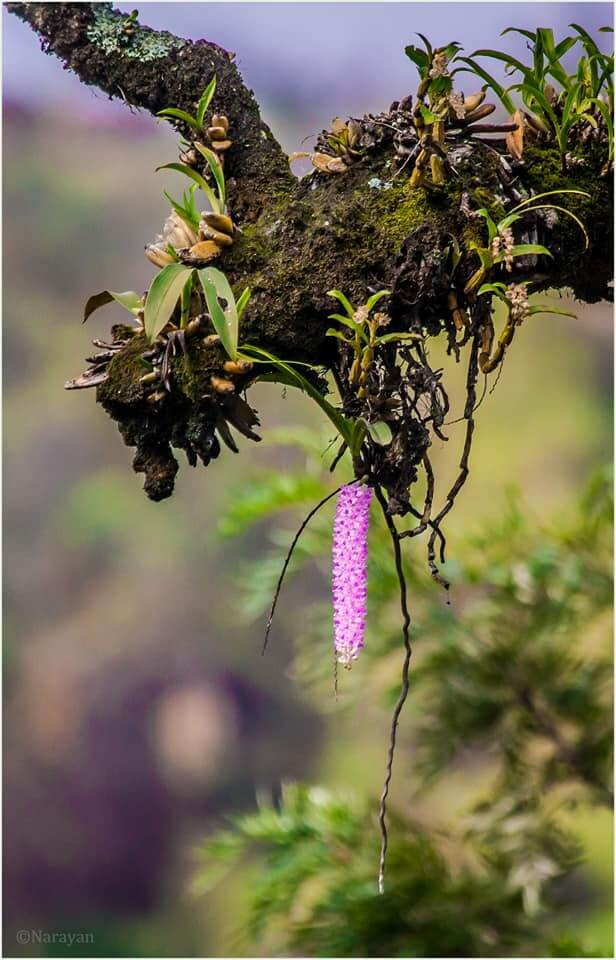 Godawari is also rich in Orchids! Photo : Narayan Neupane